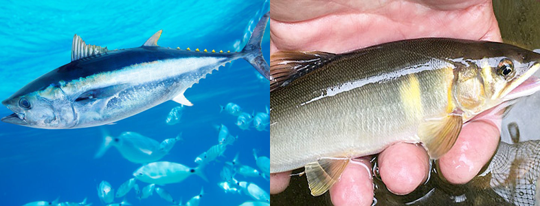 川魚と海魚の焼き方に違いはある?