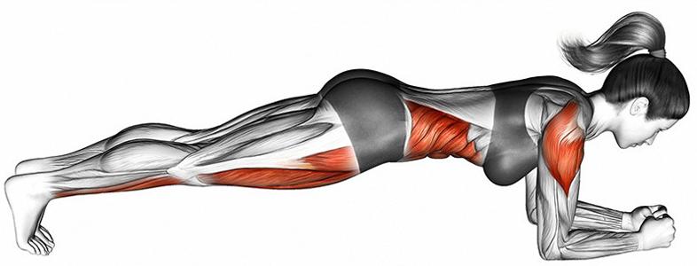 プランクで鍛えられる筋肉