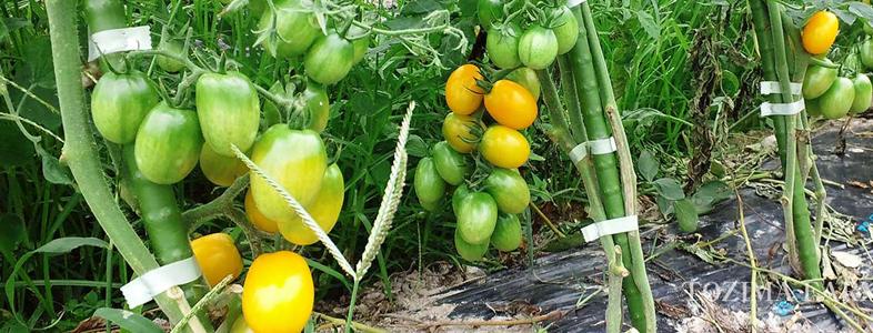 トマトやナス、ピーマンなどの果菜類
